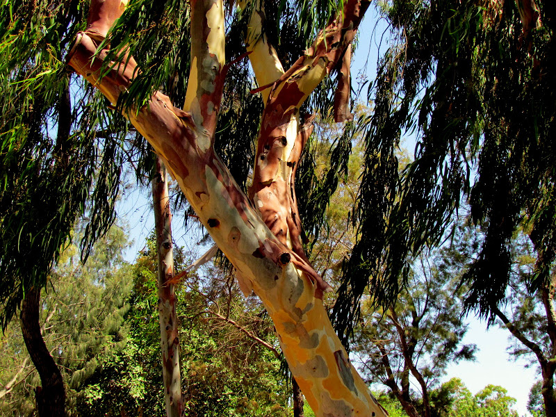 eucaliptul tratează articulațiile